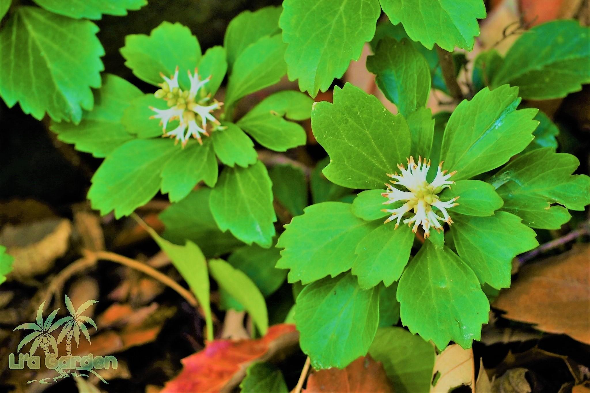 【グランドカバー】 フッキソウ Pachysandra terminalis 〈常緑多年草〉
