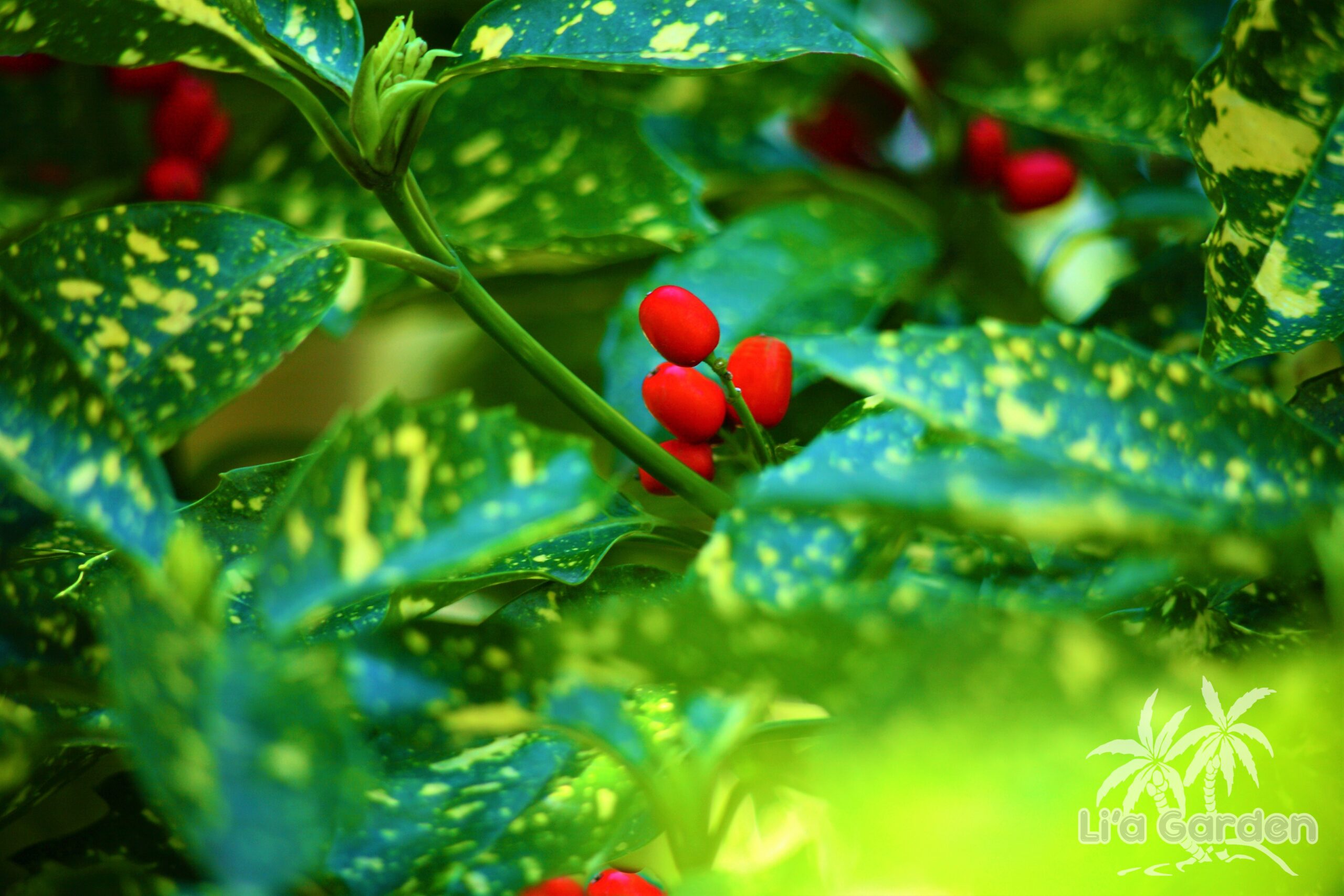 【低木】 アオキ Aucuba japonica 〈常緑広葉樹〉