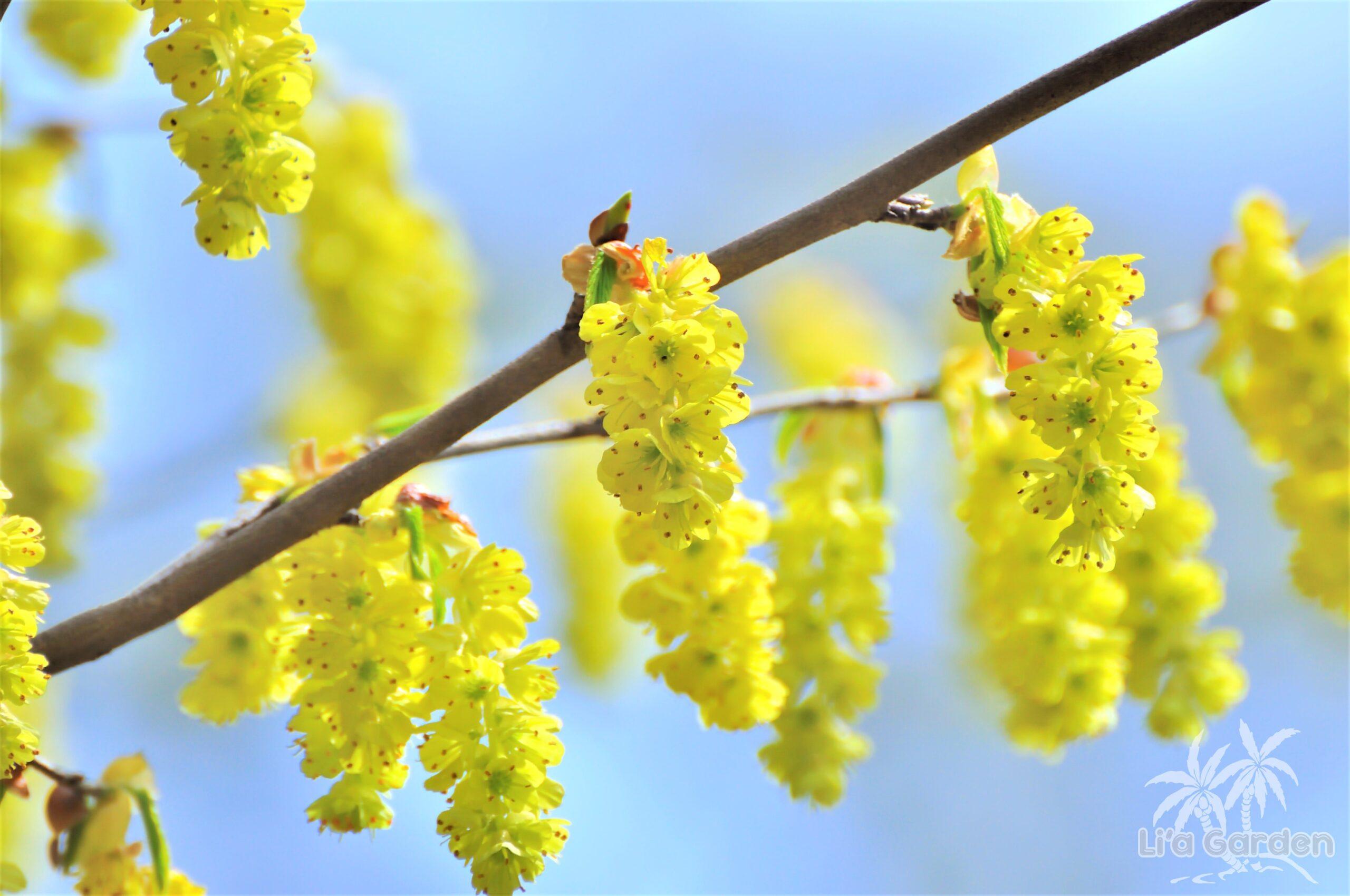 【中木】 トサミズキ Corylopsis spicata 〈落葉広葉樹〉