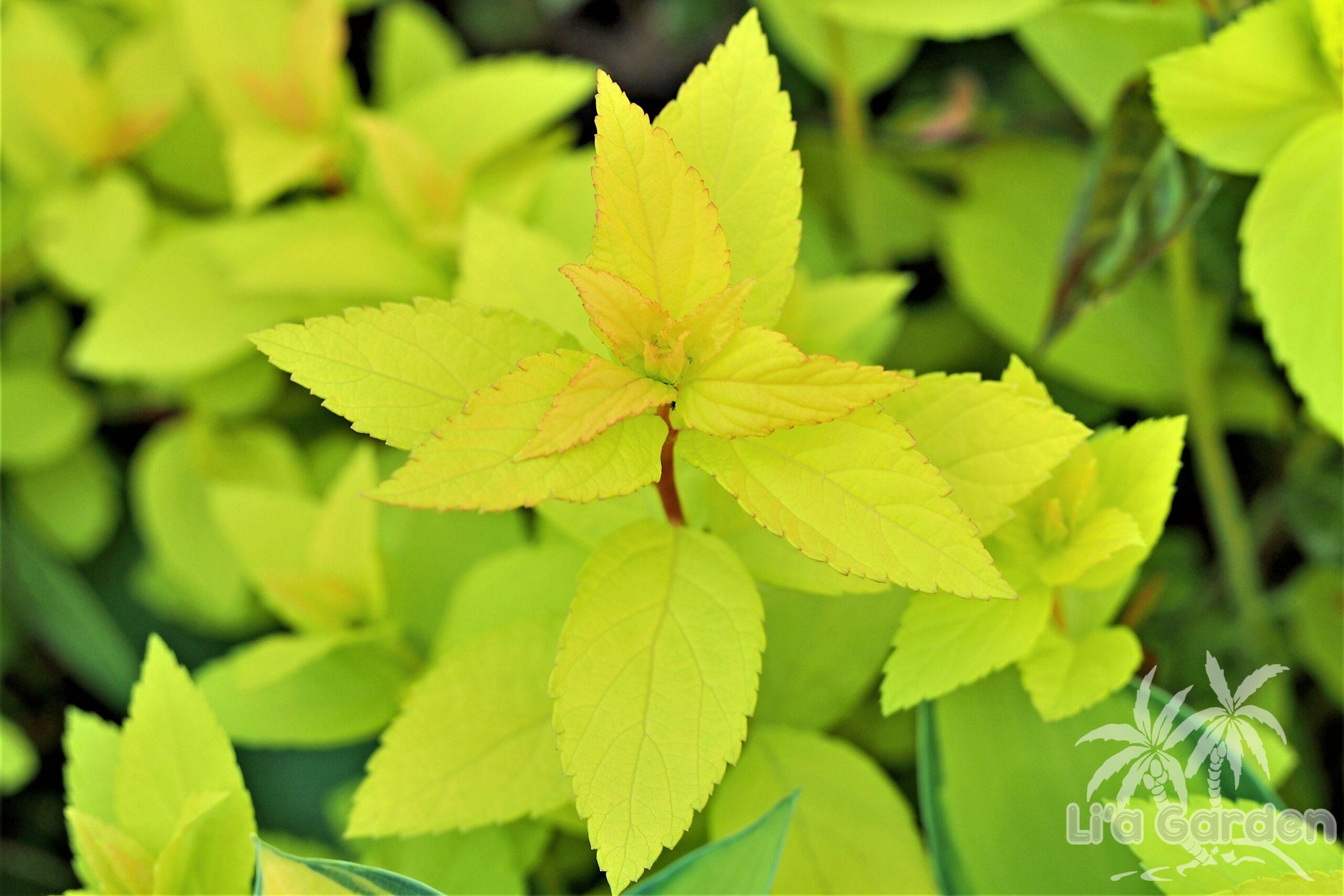 【低木】 シモツケ 'ゴールドフレーム' 'ライムマウンド' 〈落葉広葉樹〉