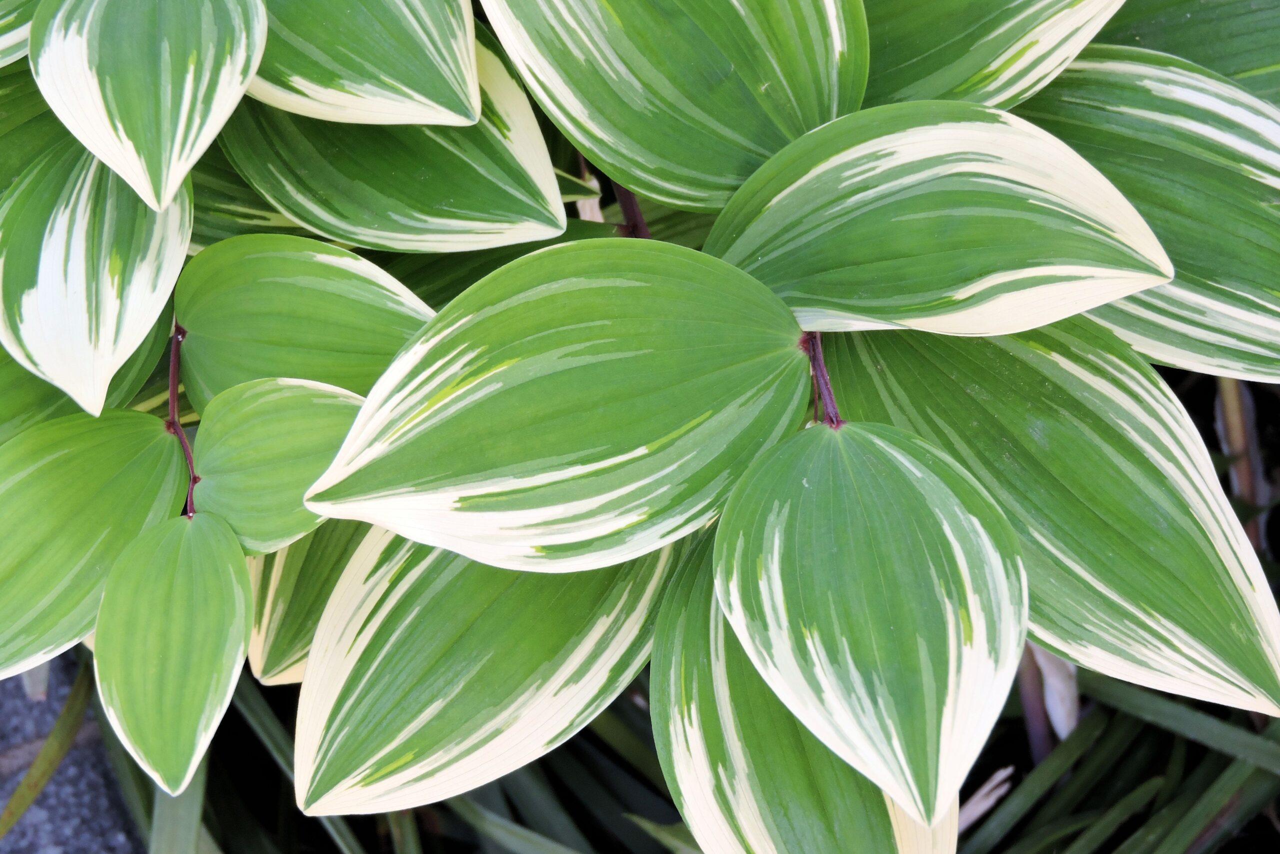 【草本類】 フイリアマドコロ Polygonatum odoratum cv. Variegatum 〈落葉多年草〉