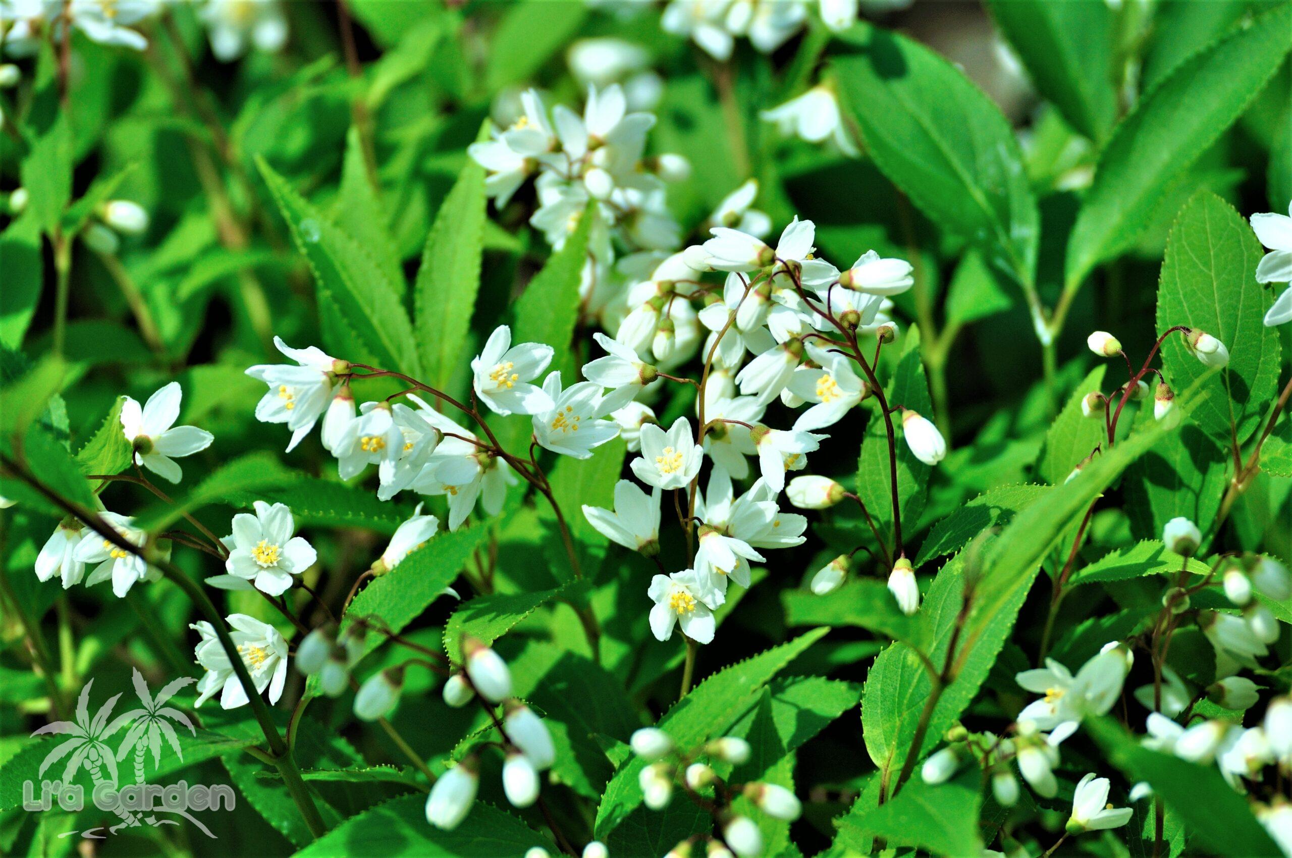 【低木】 ヒメウツギ Deutzia gracilis 〈落葉広葉樹〉