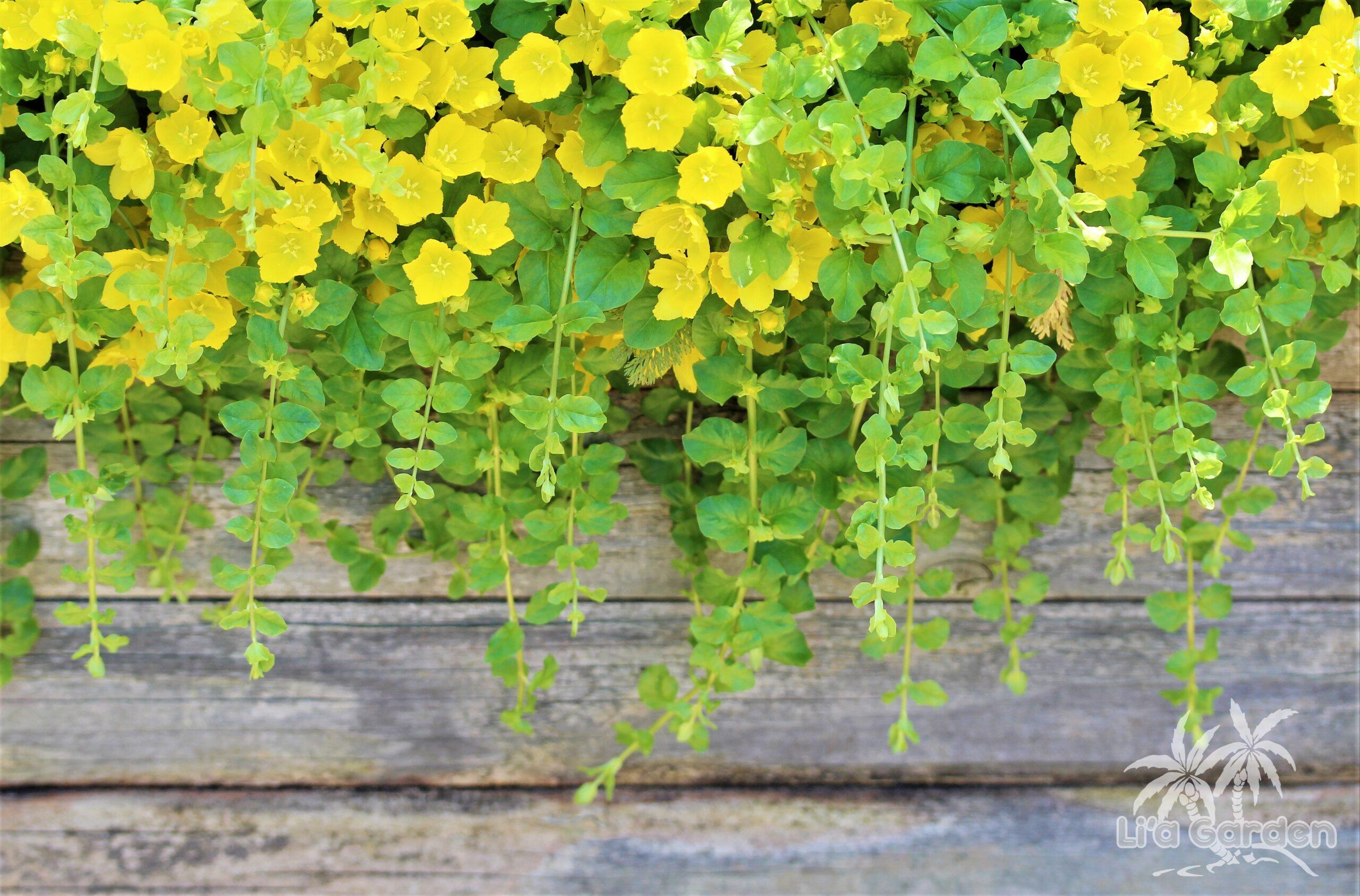 【グランドカバー】 リシマキア Lysimachia 〈半常緑多年草〉