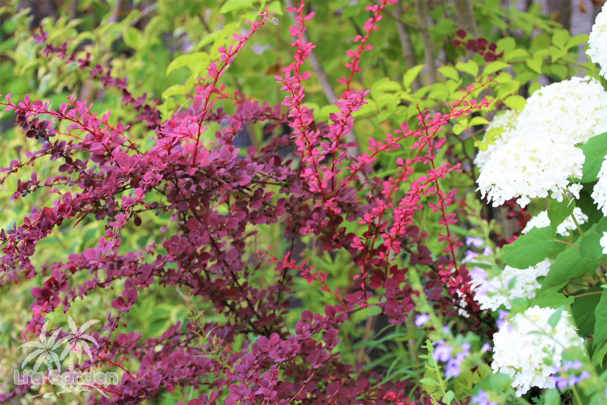 【低木】 メギ Berberis thunbergii 〈落葉広葉樹〉
