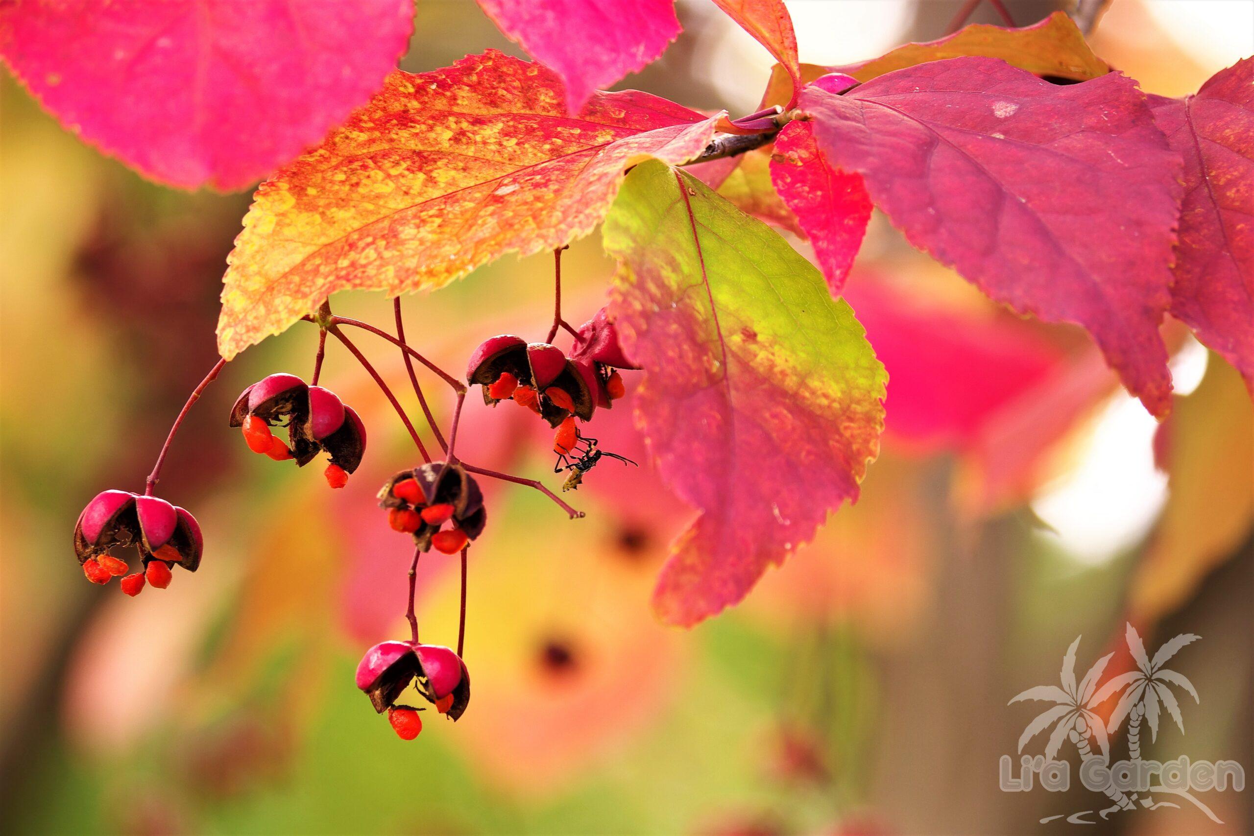 【中木】 ツリバナ Euonymus oxyphyllus 〈落葉広葉樹〉
