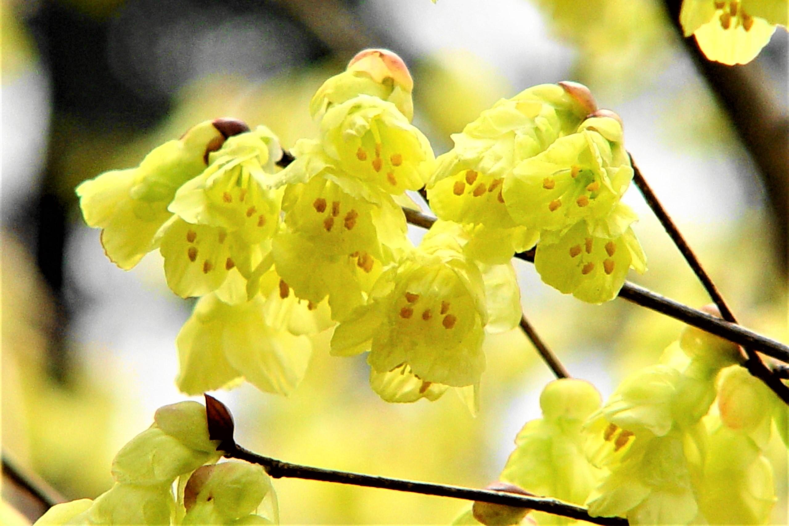 【低木】 ヒュウガミズキ Corylopsis pauciflora 〈落葉広葉樹〉