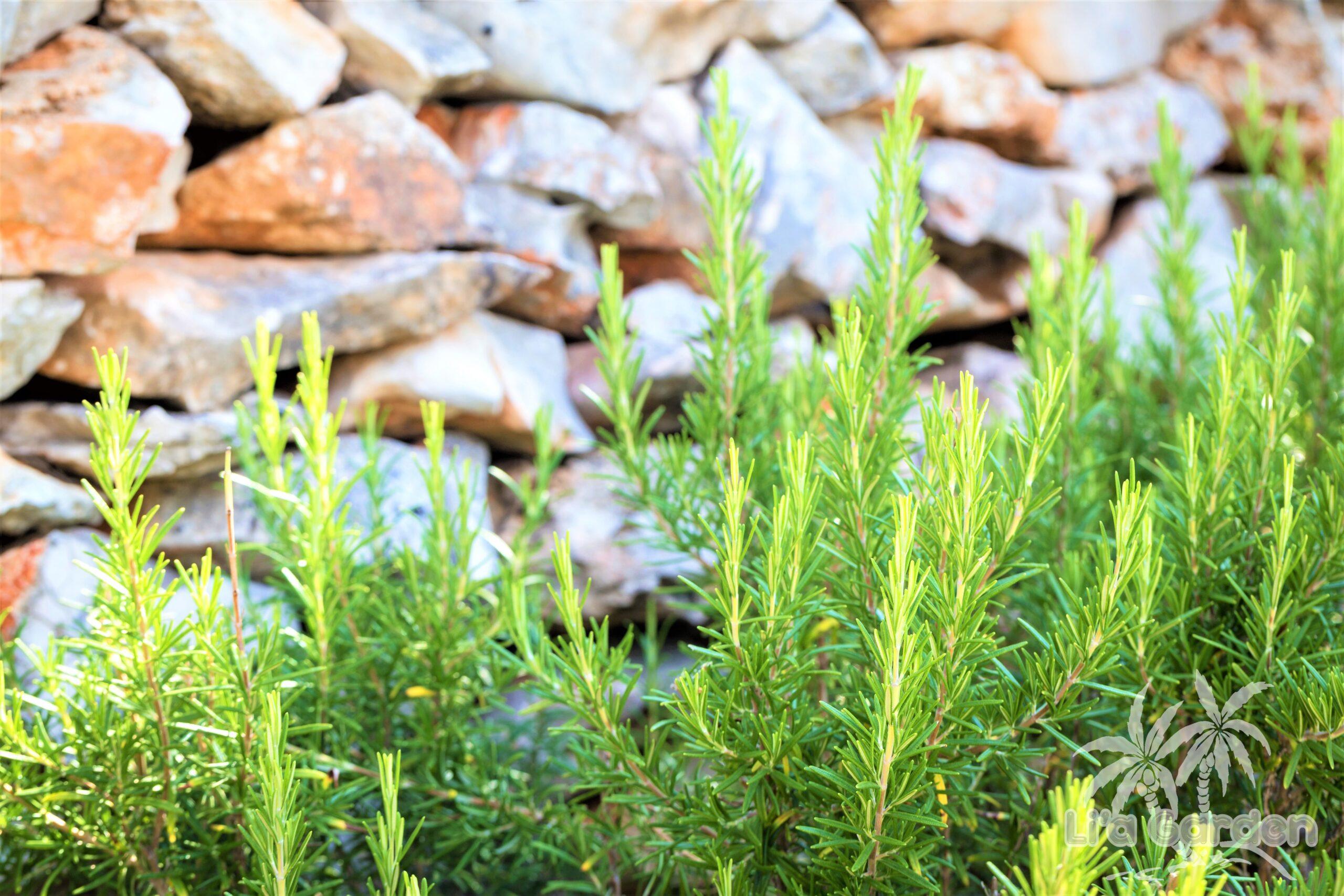 【低木】 ローズマリー Rosmarinus 〈常緑広葉樹〉
