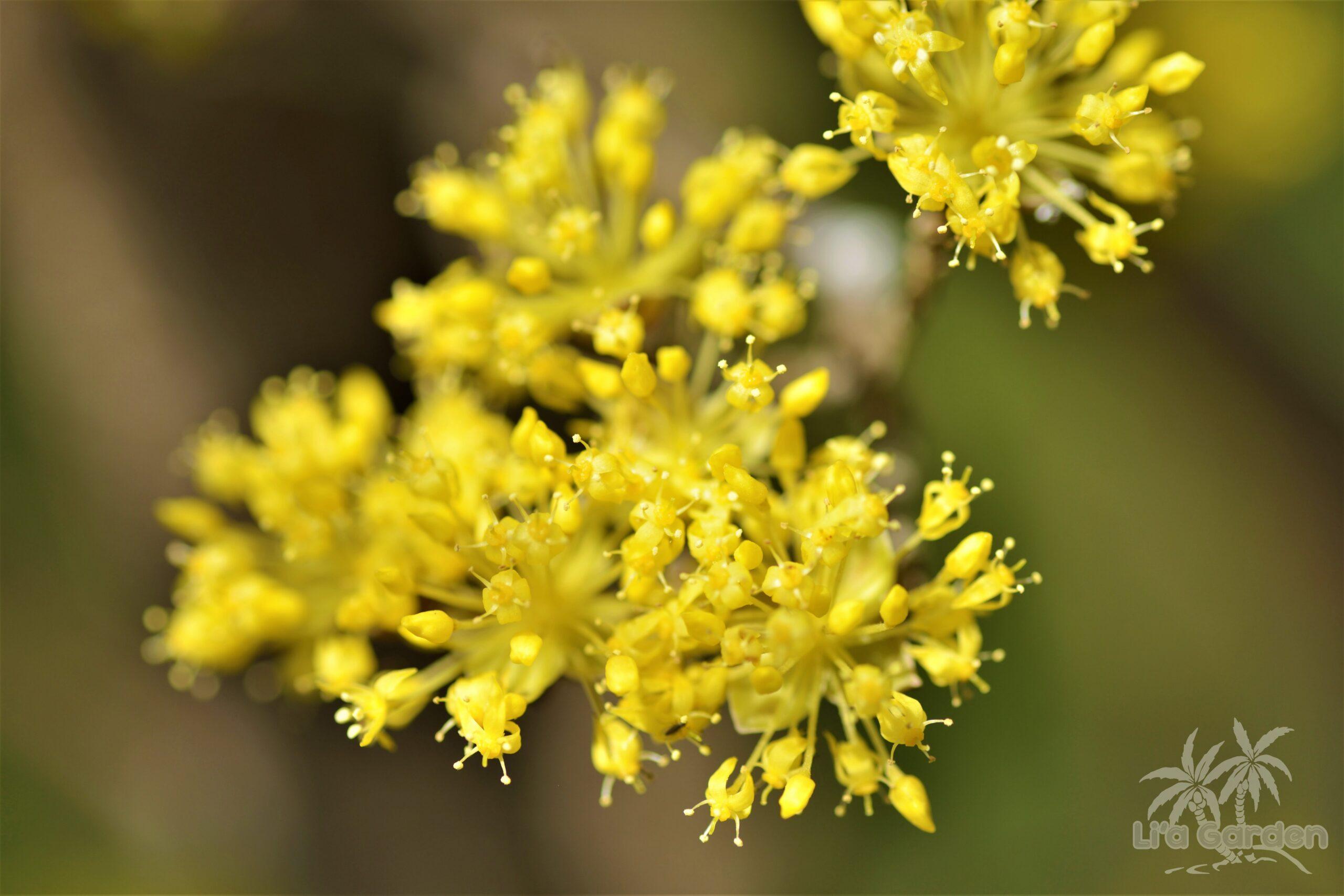 【メインツリー】 サンシュユ Cornus officinalis 〈落葉広葉樹〉