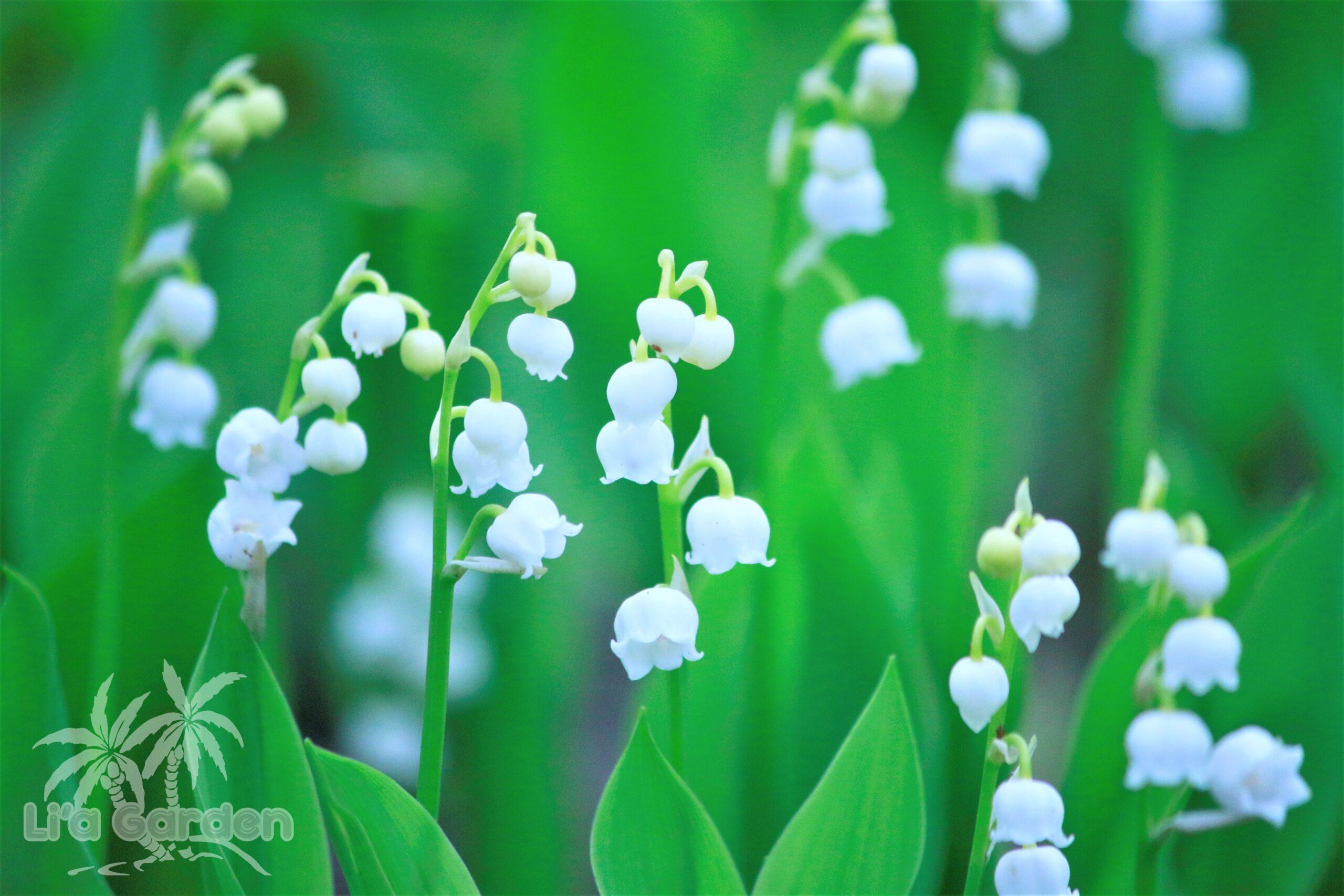 【草本類】 ドイツスズラン Convallaria majalis 〈落葉多年草(球根類)〉