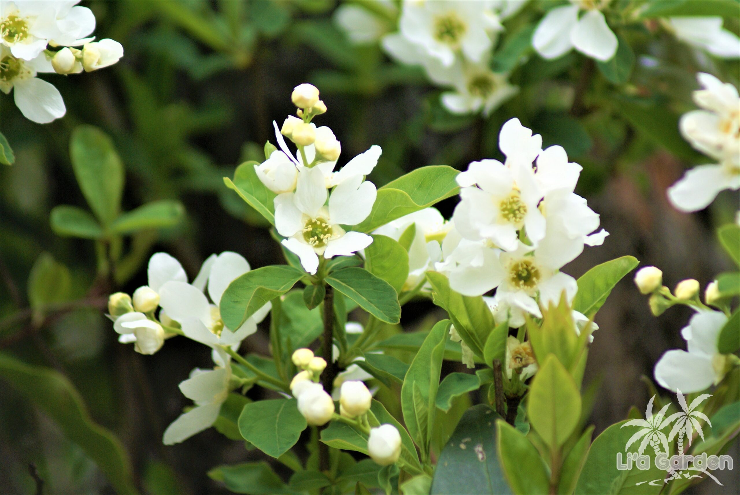 【中木】 リキュウバイ Exochorda racemosa 〈落葉広葉樹〉