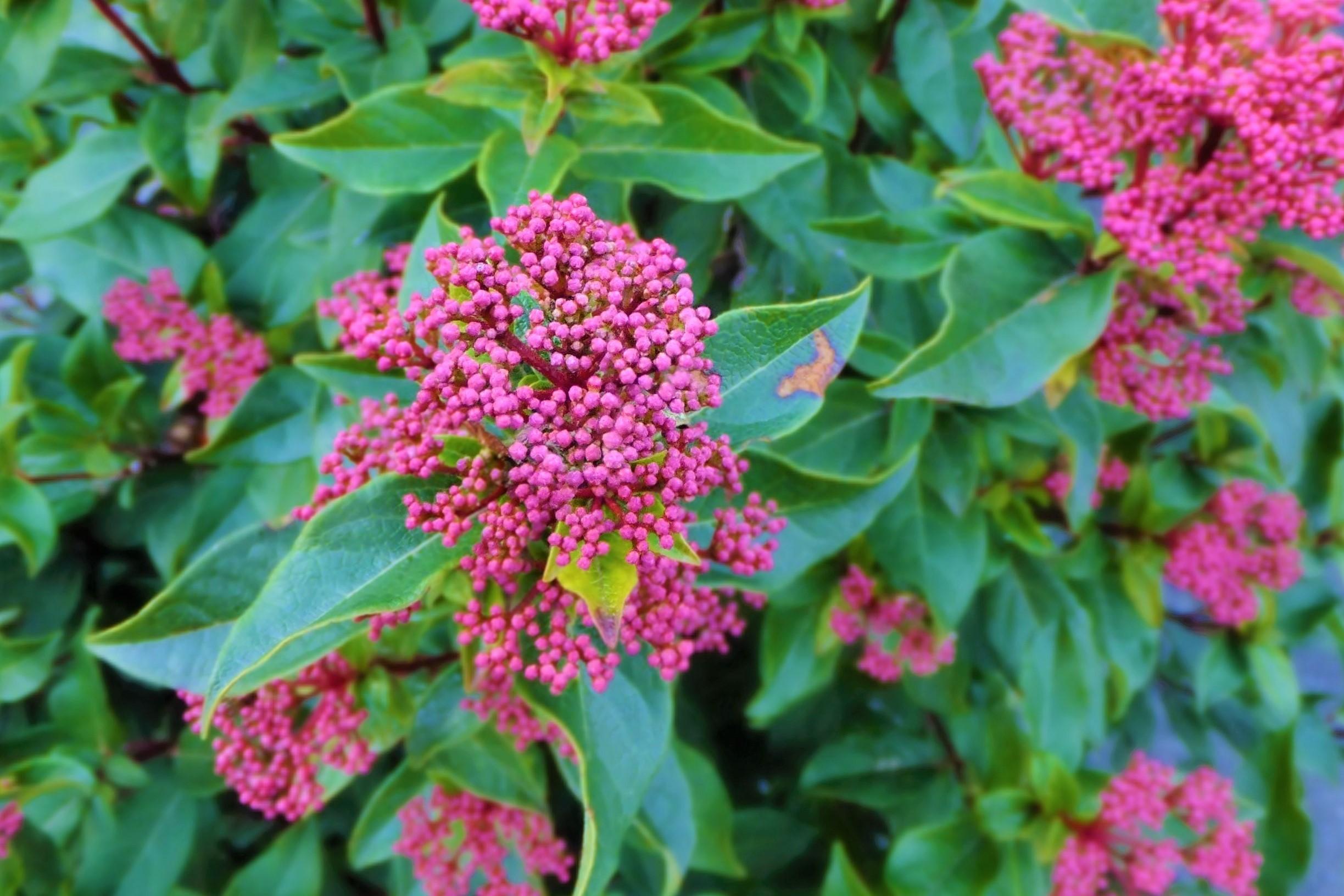 【中木】 ビブルナム・ティヌス Viburnum tinus 〈常緑広葉樹〉