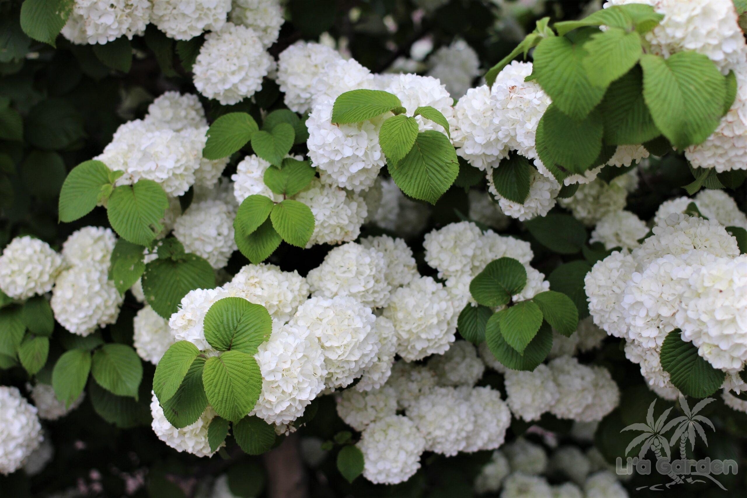 【中木】 オオデマリ Viburnum plicatum f. plicatum 〈落葉広葉樹〉