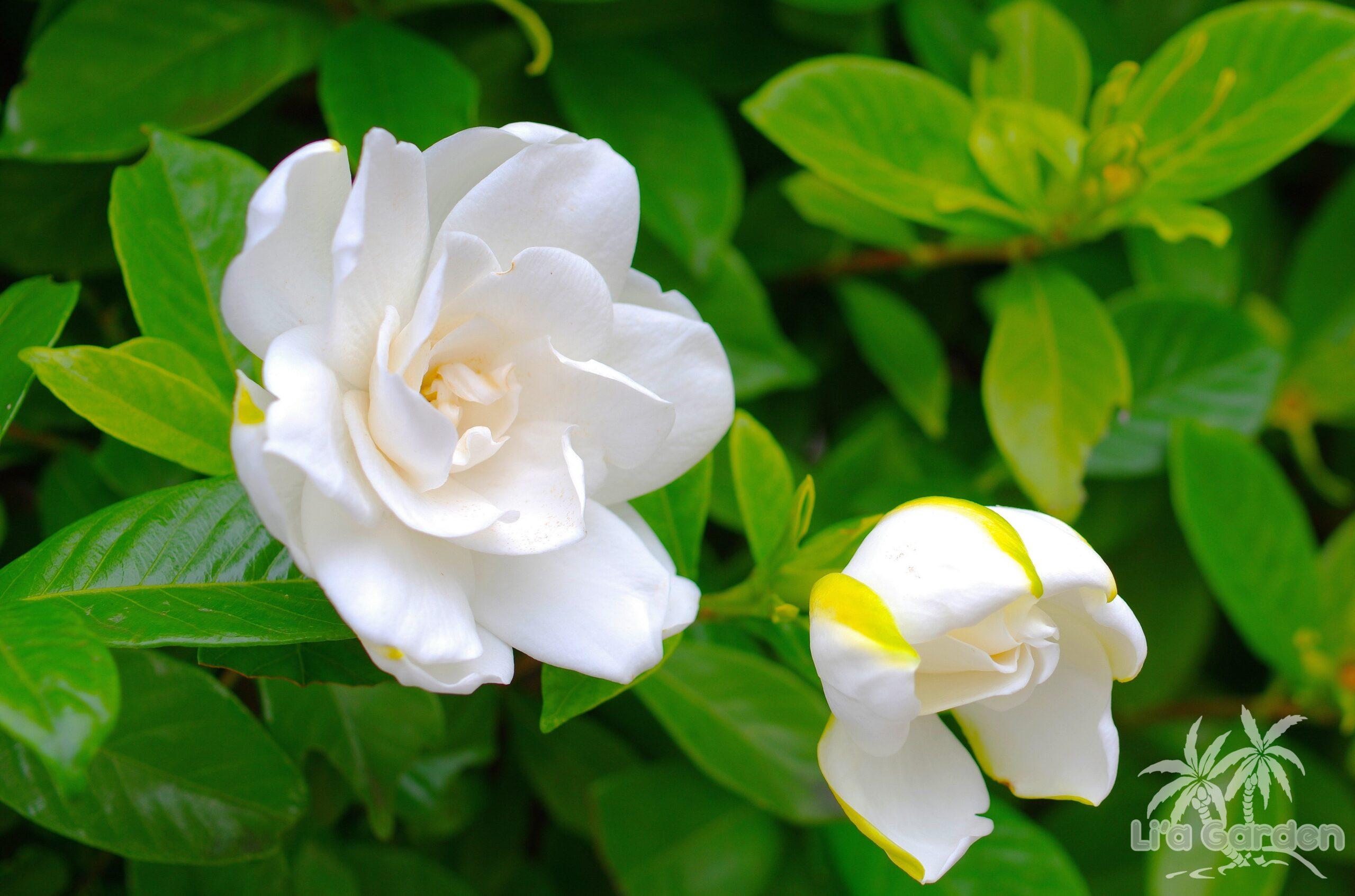 【低木】 ヤエクチナシ Gardenia jasminoides f. ovalifolia 〈常緑広葉樹〉