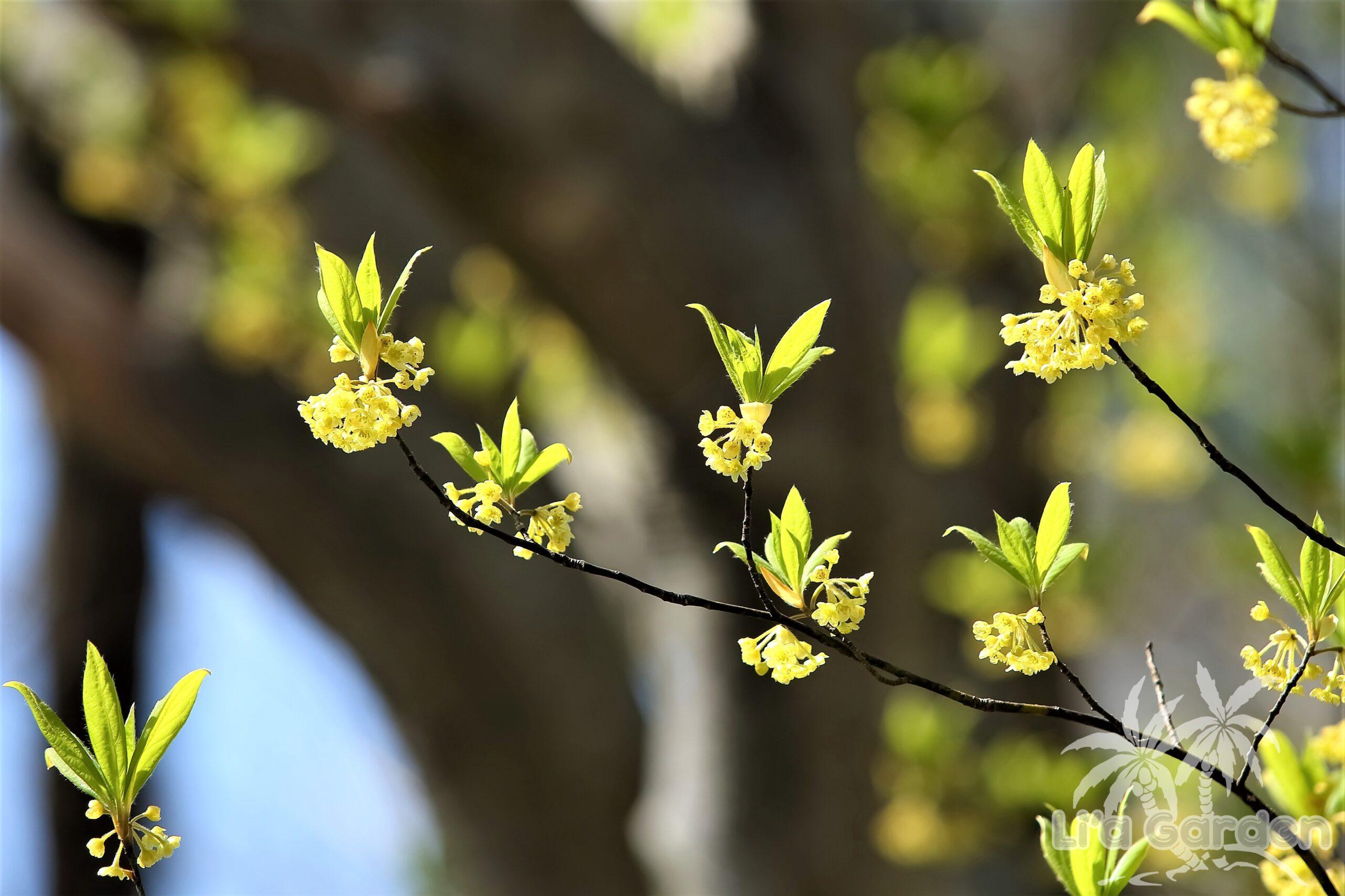 【中木】 クロモジ Lindera umbellata 〈落葉広葉樹〉