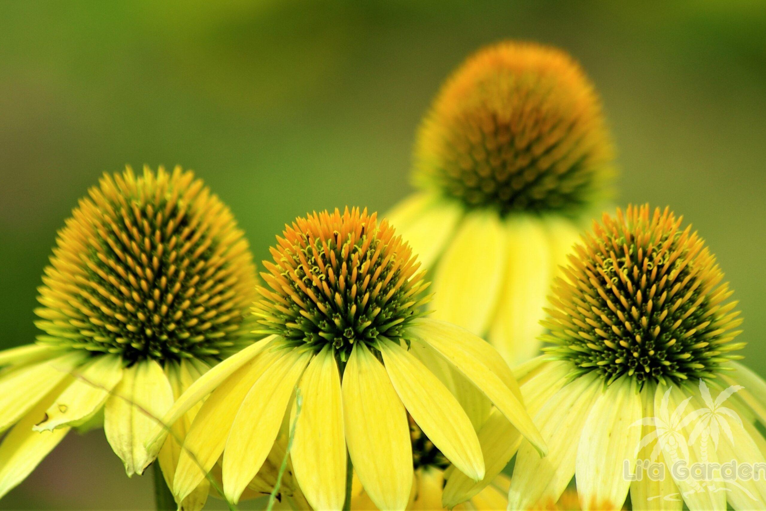 【草本類】 エキナセア Echinacea 〈落葉多年草〉