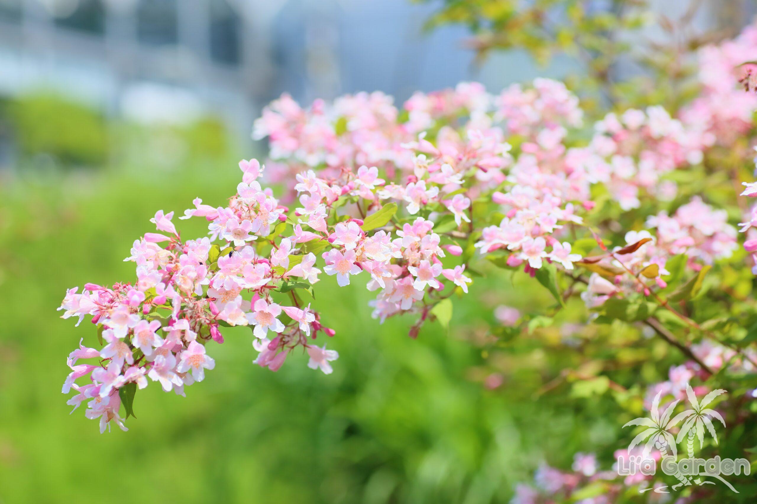 【低木】 コルクウィッチア・アマビリス Kolkwitzia amabilis 〈落葉広葉樹〉