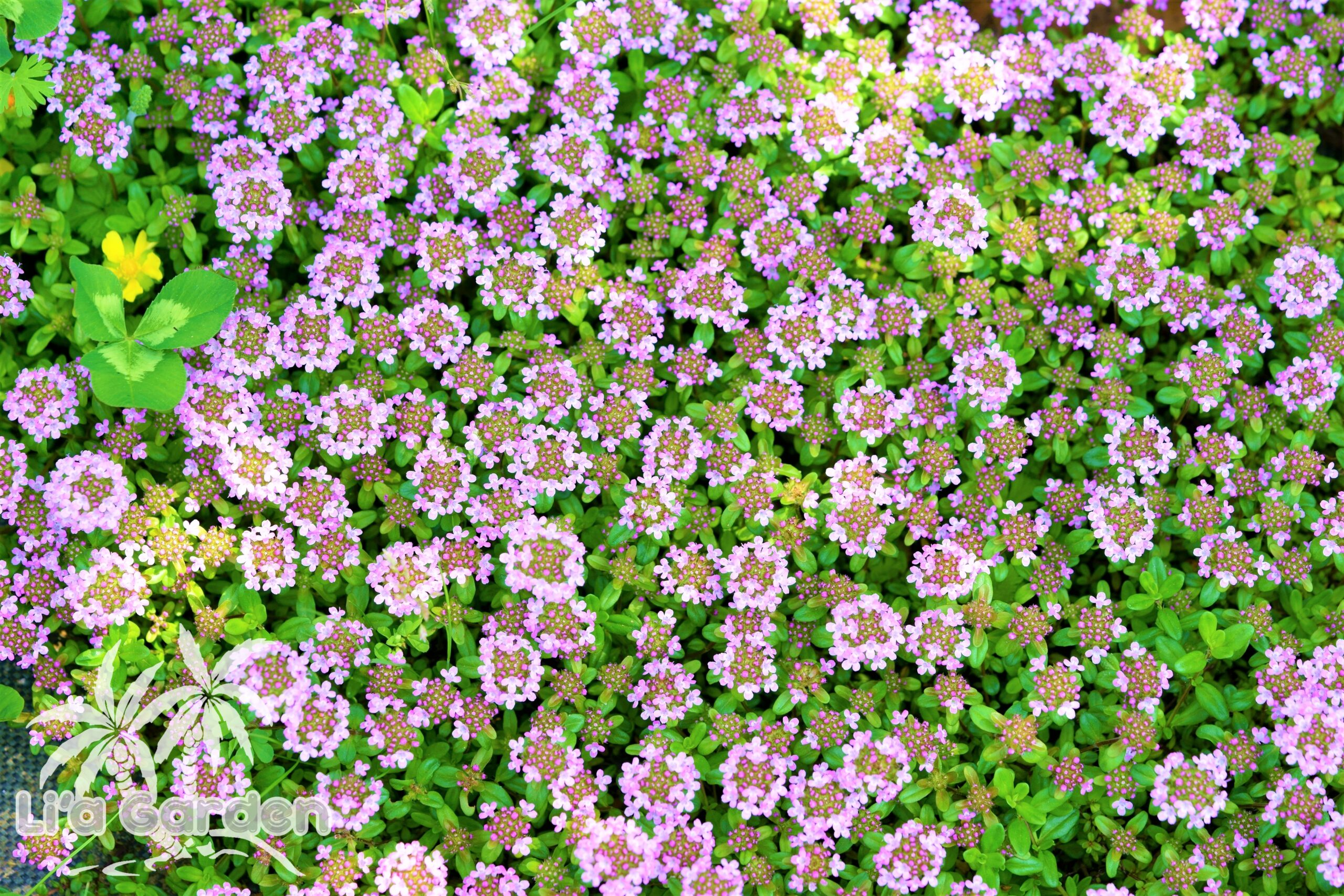 【グランドカバー】 クリーピングタイム Thymus serpyllum 〈常緑多年草〉
