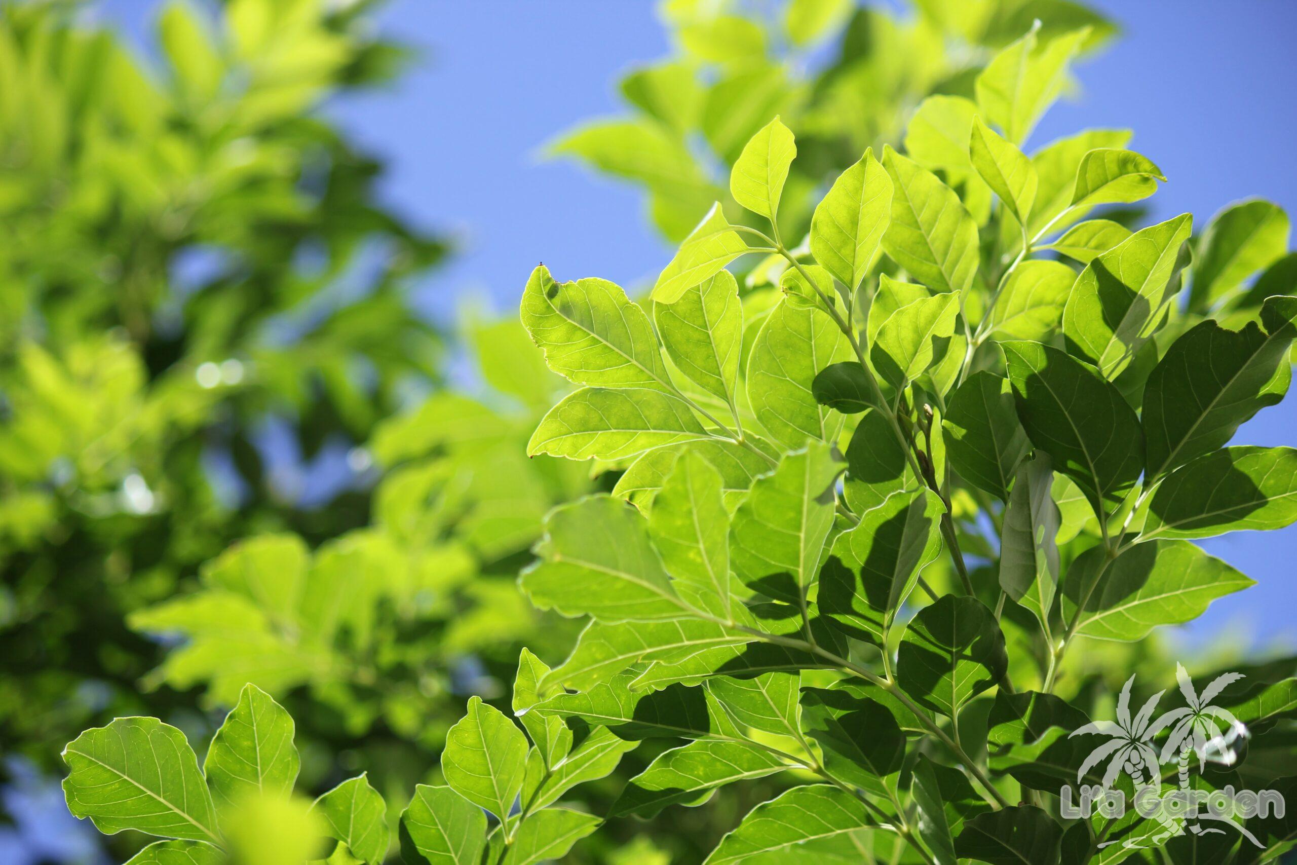 【メインツリー】 シマトネリコ Fraxinus griffithii 〈常緑広葉樹〉