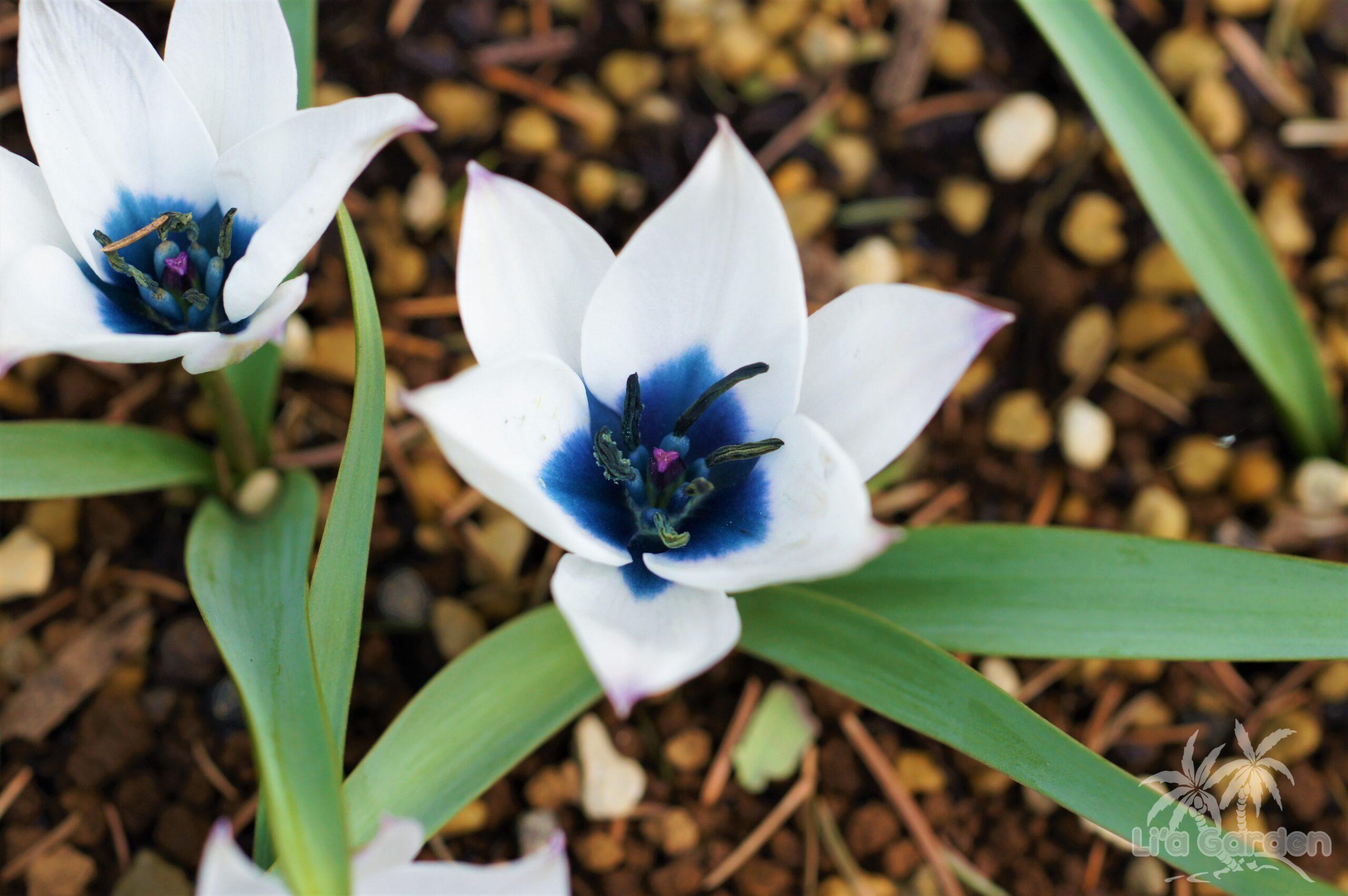 【草本類】 原種系チューリップ Tulipa 〈球根類〉