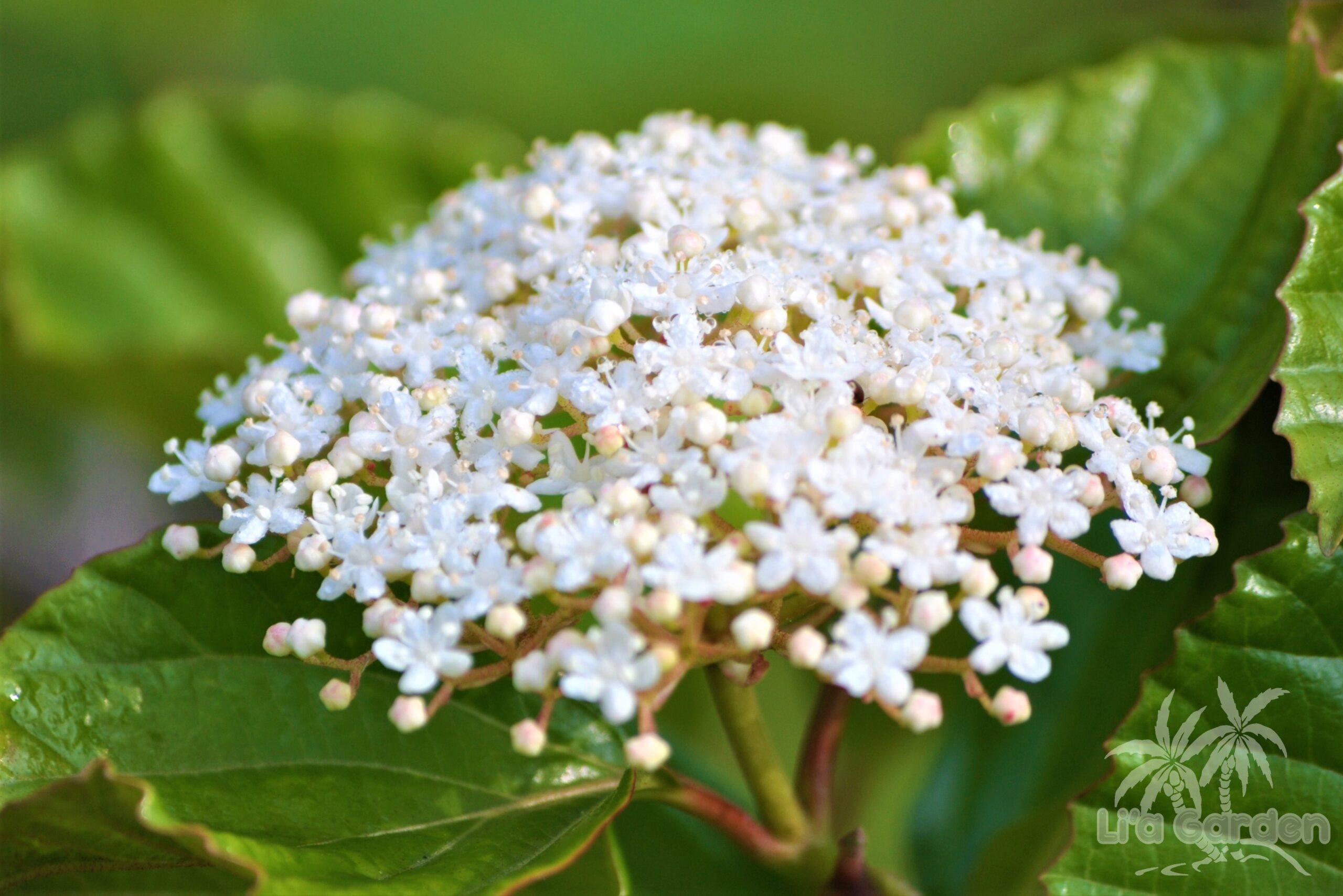 【中木】 ハクサンボク Viburnum japonicum 〈常緑広葉樹〉