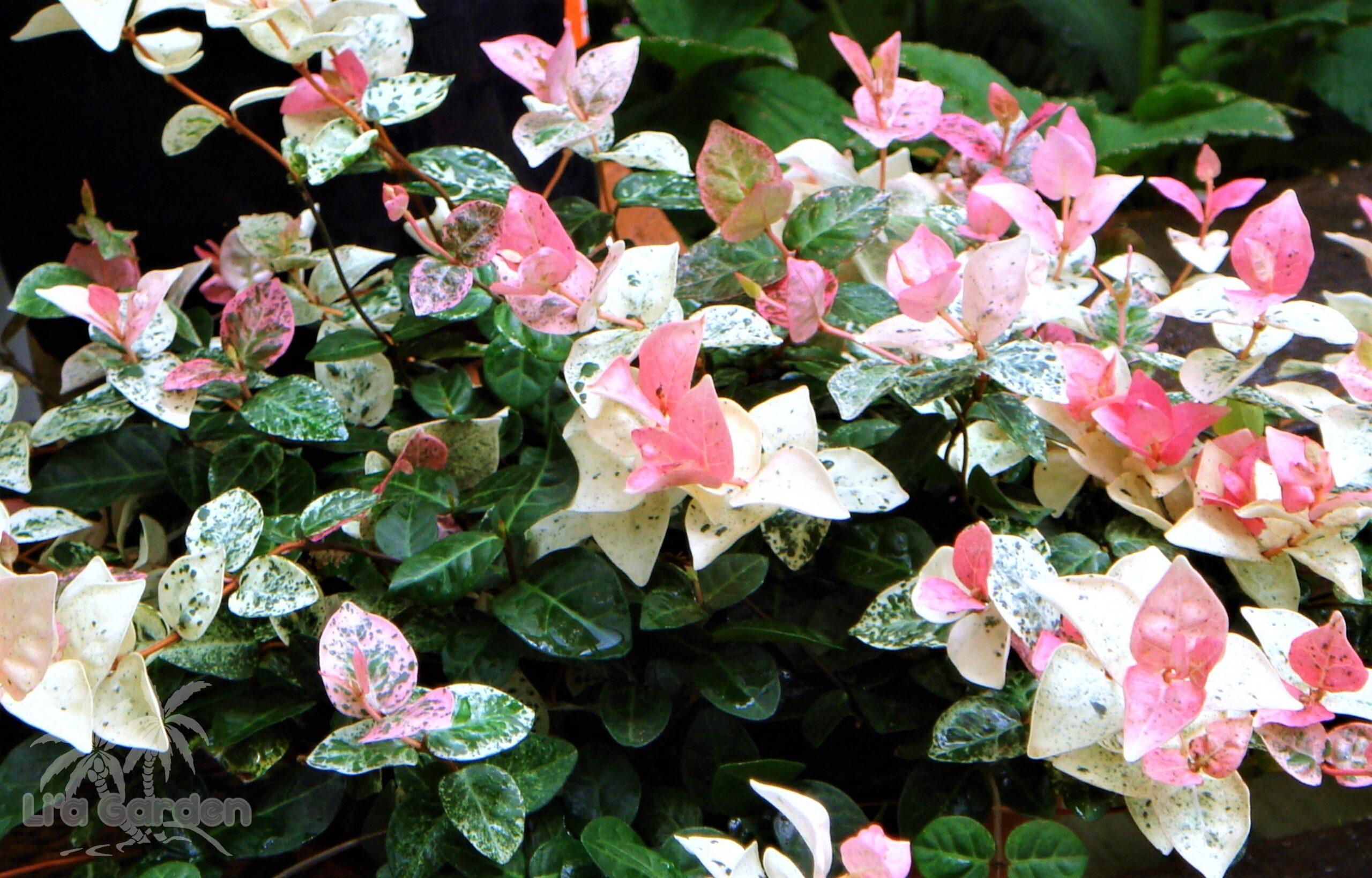 【グランドカバー】 ハツユキカズラ Trachelospermum asiaticum cv. 〈常緑多年草〉