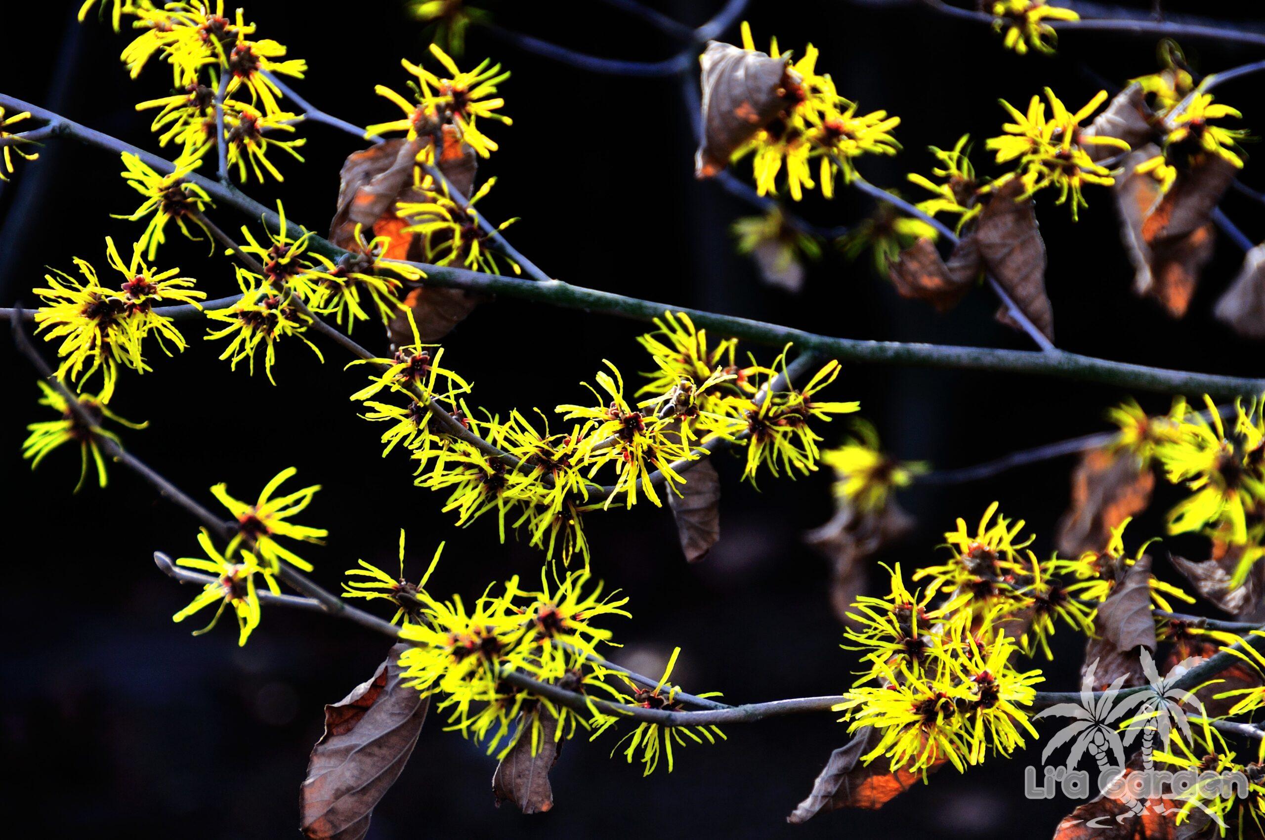 【中木】 マンサク Hamamelis japonica 〈落葉広葉樹〉