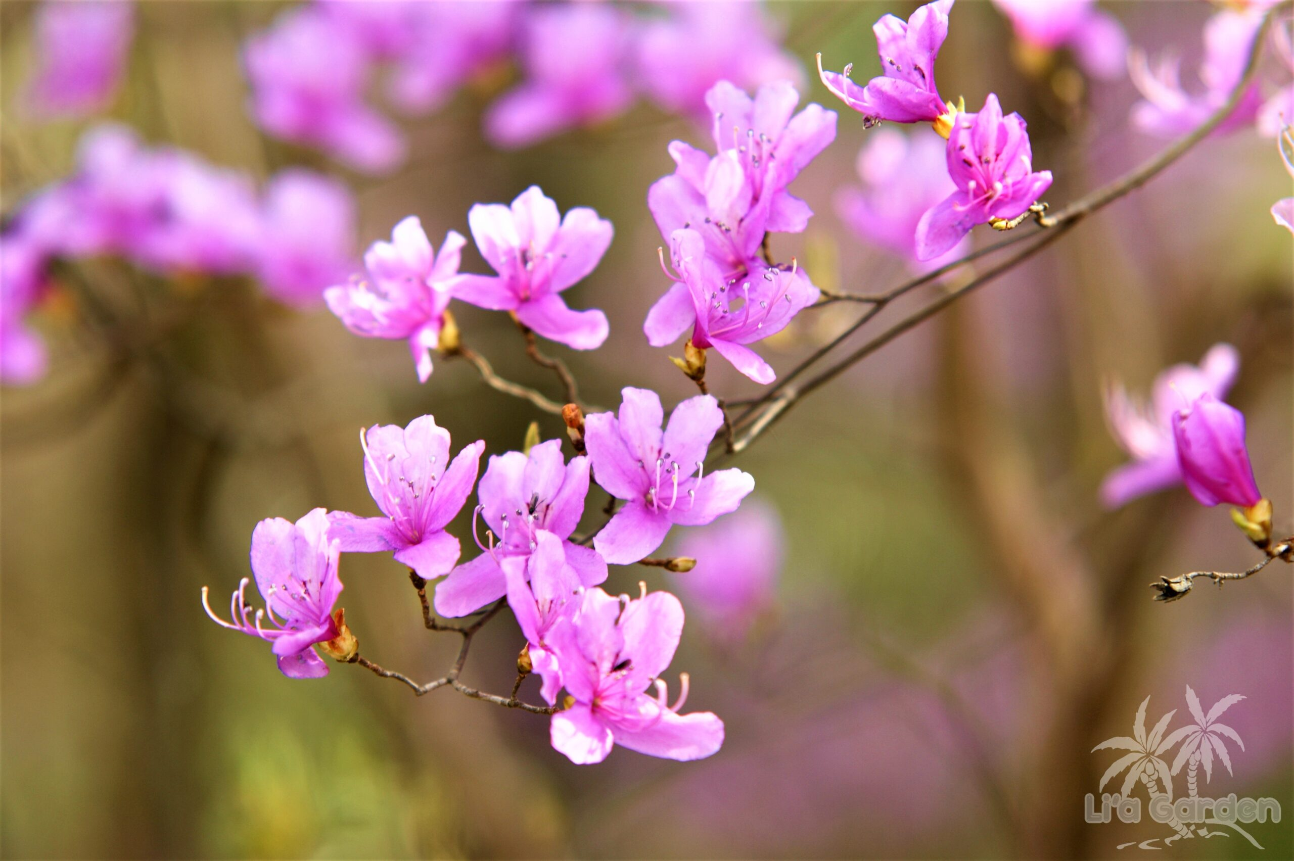 【中木】 ミツバツツジ Rhododendron dilatatum 〈落葉広葉樹〉