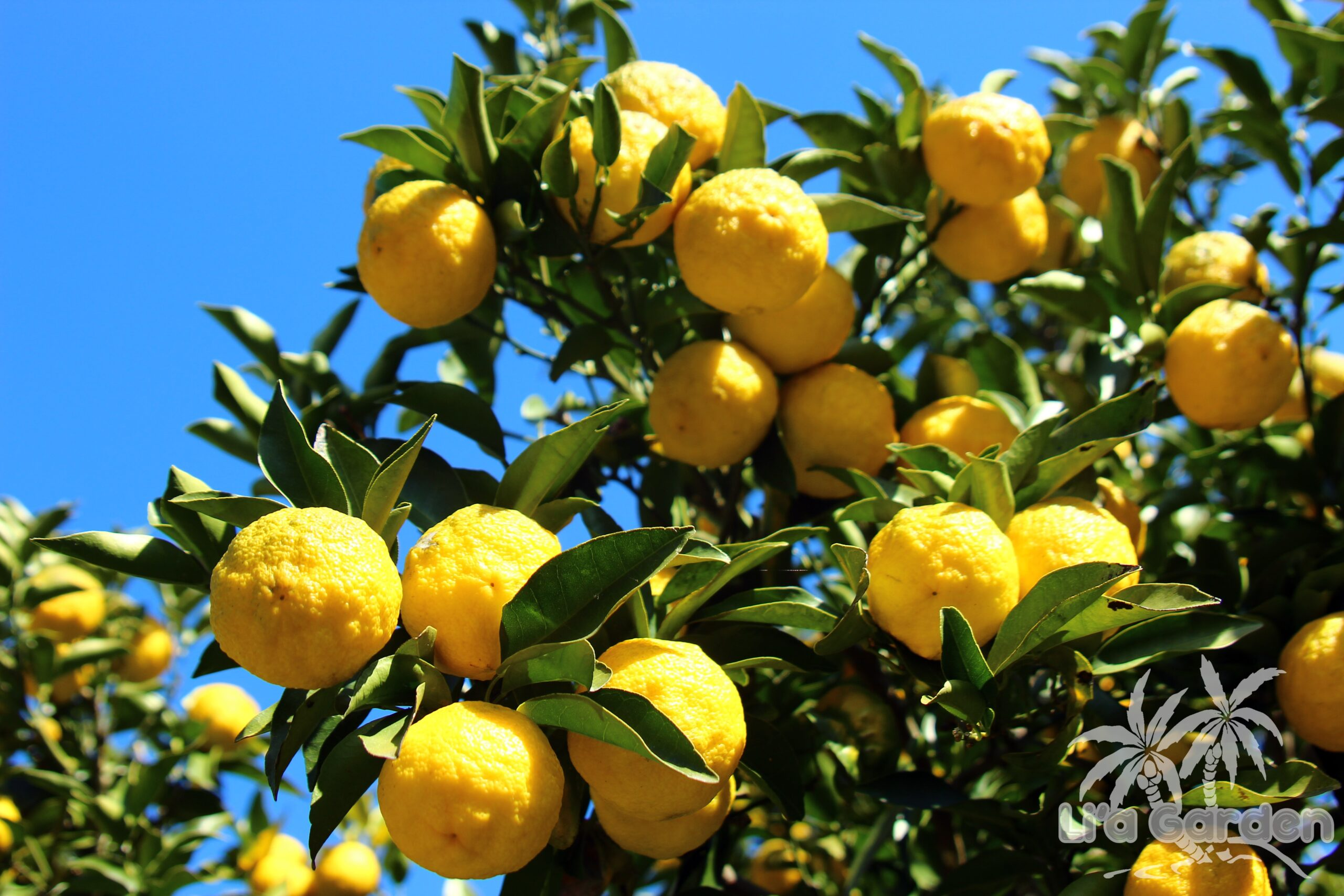 【中木】 ユズ Citrus junos 〈常緑広葉樹〉